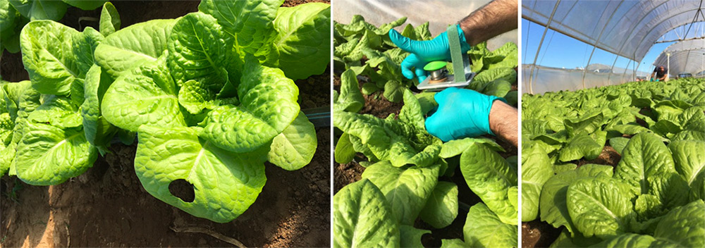 DFR trial on protected lettuce